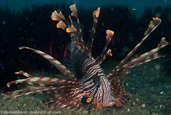 BD-090925-Lembeh-9253931-Pterois-volitans-(Linnaeus.-1758)-[Red-lionfish.-Drakfisk].jpg